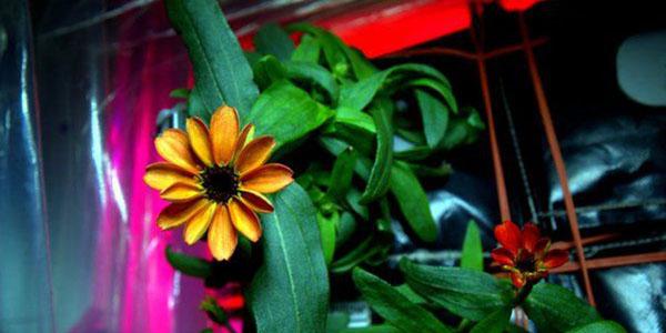 Cresceu a primeira flor no espaço