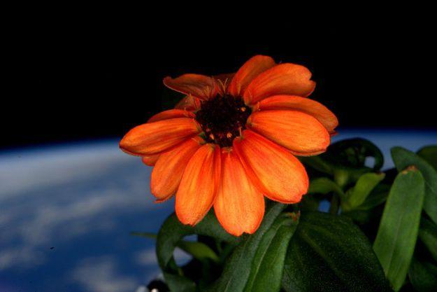 Zínia em flor a bordo da Estação Espacial